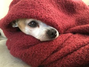 Dog sticking head out of blanket