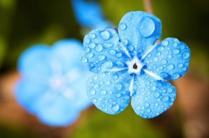 rain drops on a blue flower